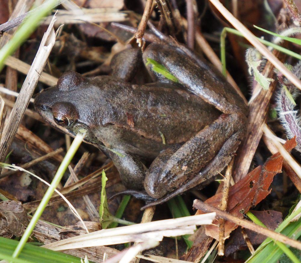 Frosch im Weingartener_Moor